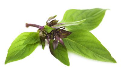 Basilico Thailandese, un'erba al profumo di liquirizia dolce
